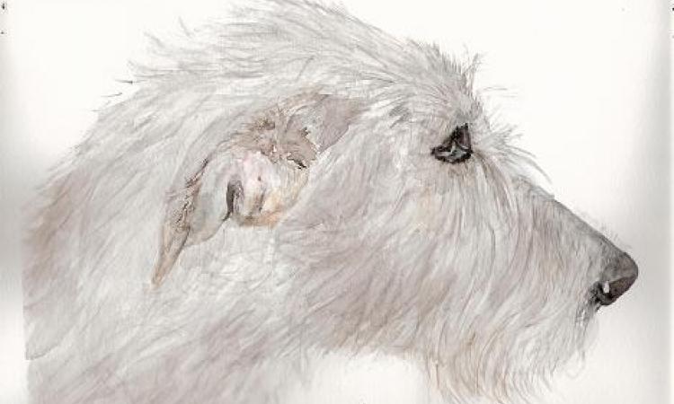 irish wolfhounds du clos du pré Bevon