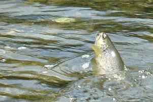 La pêche de truite en rivière