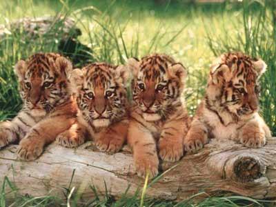 tigreland