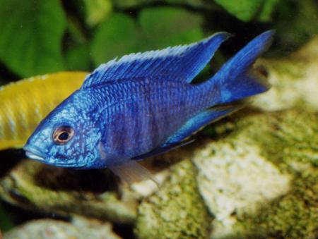 installation d un aquarium de cichlid 233 s malawi