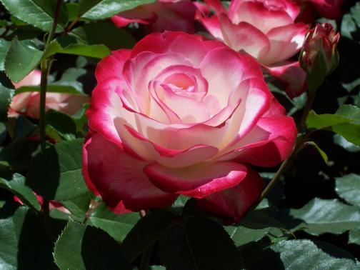 Mon Amie La Rose Poême De Ronsard