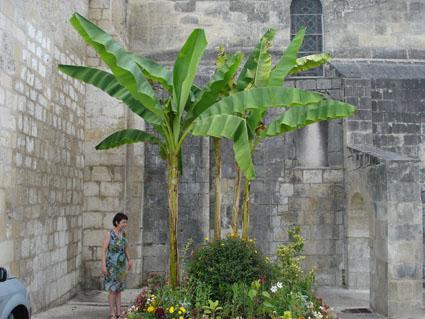Bananier musa basjoo for Yucca exterieur gele