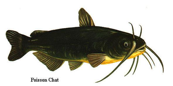 http://www.e-monsite.com/s/2008/01/05/truite/poisson_chat_imagelarge-3sf6v.jpg