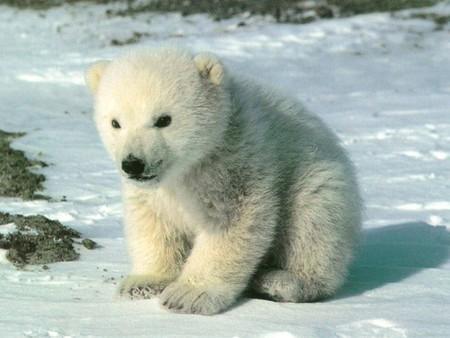espèce polaire en voie de disparition