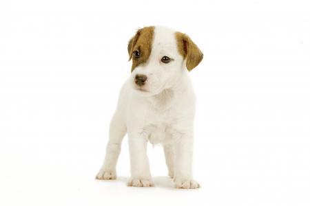 chien de terrier robuste dynamique agile avec beaucoup de personnalite