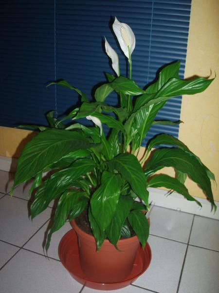 Une plante qui sent super bon je la conseil a tout ceux qui aime les bonne odeur xd - Plante qui aime le soleil ...