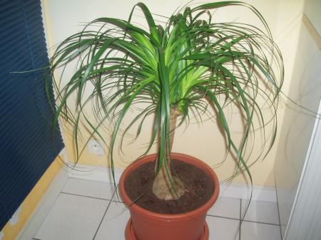 Le beaucarnea aussi connue sous le nom de pied d 39 elephant est une plante qui pousse lentement - Plante verte appelee pied d elephant ...