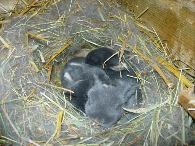 Les lapins nains ligériens à NANTES