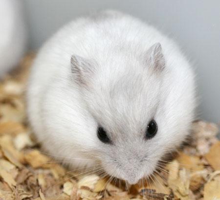 Folles des hamsters le hamster - Hamster russe panda ...