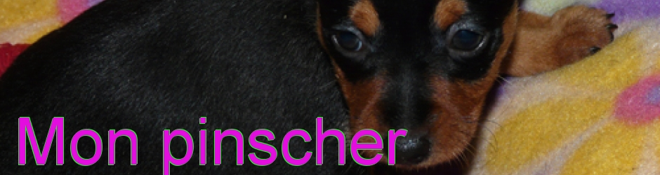 Pinscher nain