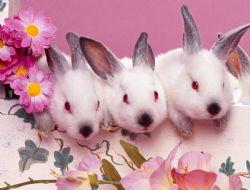 nos lapins nains