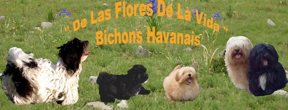 Bichons Havanais  De Las Flores De La Vida