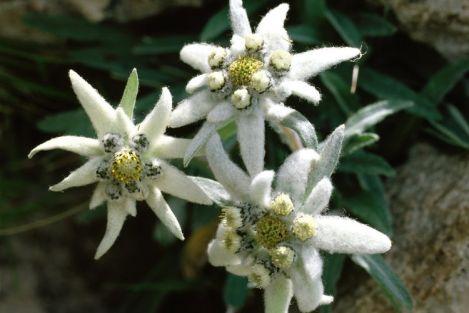 http://www.e-monsite.com/s/2009/08/16/fleursedelweiss//89681584edelweiss-dw-wissen-200762g-jpg.jpg