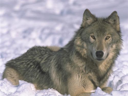 Le loup et son histoire