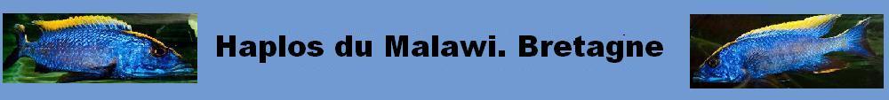 Haplos du Malawi.Bretagne