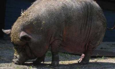 un porc sauve la vie a maitresse ( JoAnn Altsman )