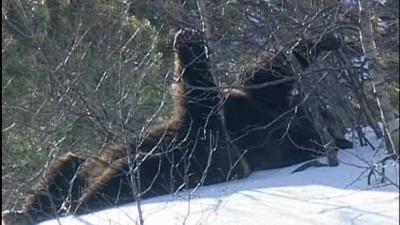 Des bébé ours dans les pyrénées