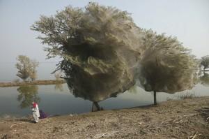 Étrange phénomène des millions d'araignées dans les arbres au Pakistan