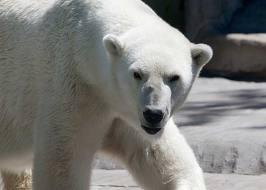 Un ours blanc tue un Britannique et en blesse quatre en Norvège
