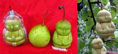 Des poires en forme de Bouddha