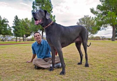 Le plus grand chien du monde ( Giant George )