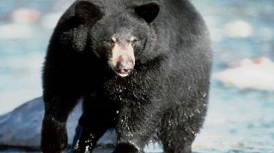 Un homme dévorée par un ours noir