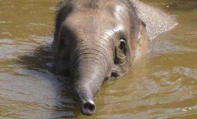 Un élephant sauve une jeune fille du tsunami ( Amber Mason )