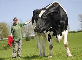 La plus grosse vache du monde