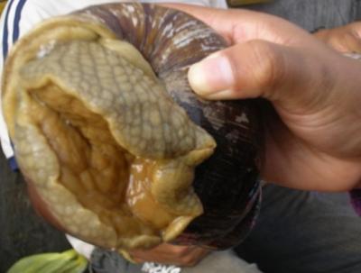 Les énorme escargots du pérou