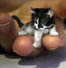 Le plus petit chat du monde