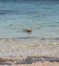 Un chien attaque un requin en pleine mer