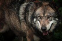 Une femme attaqué par un loup