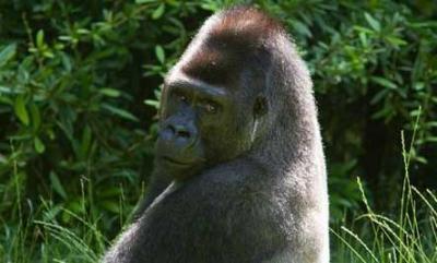 Un Gorille protège  un petit garçon qui tombe dans l'enceinte du zoo
