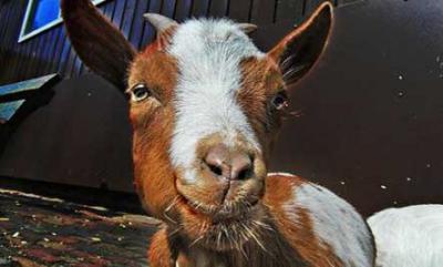 Une  Chèvre sauve la vie à un fermier