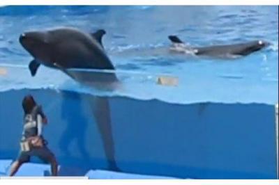 Un Dauphin s'échappe de son bassin