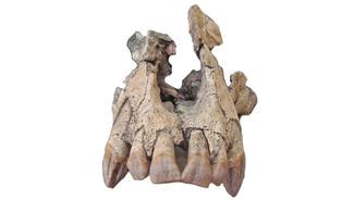 Découverte d'un crâne d'un grand singe de 20 millions d'années