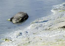 Mystere des Cadavres de sangliers sur des plages bretonnes