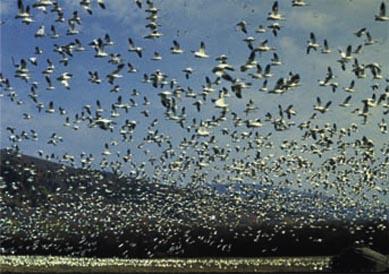 Des oiseaux ont attaqué une ville ( Phénomène étrange )