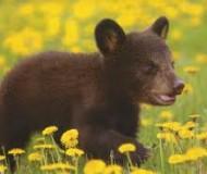 Une maman ourse tue son bébé et se suicide