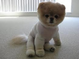 le chien le plus beau du monde
