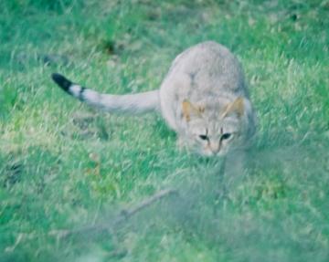 Le chat  a  parcourue 70 kilomètres pour retrouvé son foyer