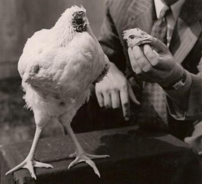 Un poulet qui vie sans tête