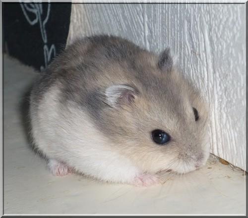 Les hamsters russes - Hamster gratuit ...