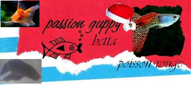 passion guppy betta poissonrouge