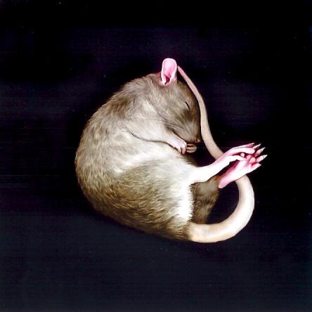 La Raterie deThalie,élevage des rats du Tarn