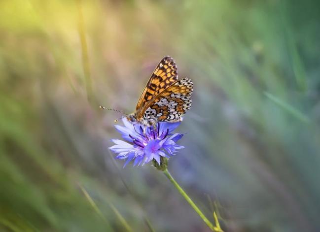 Papillon pixabay